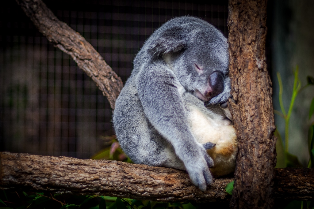 Sleepy koala in tree